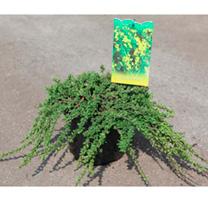 Cytisus decumbens Plant