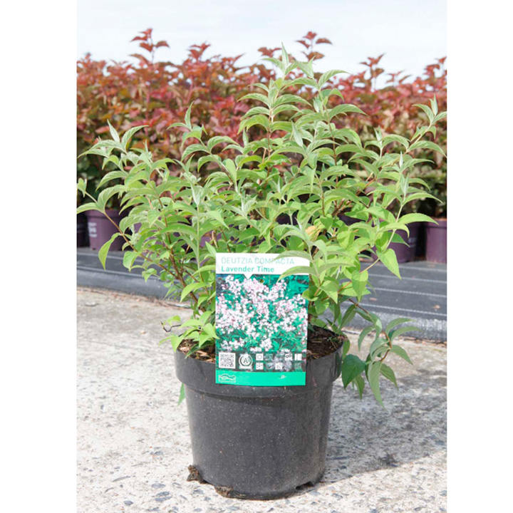 Deutzia compacta Plant - Lavender Time Noble
