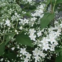 Deutzia setchuenensis Plant - Corymbiflora Noble