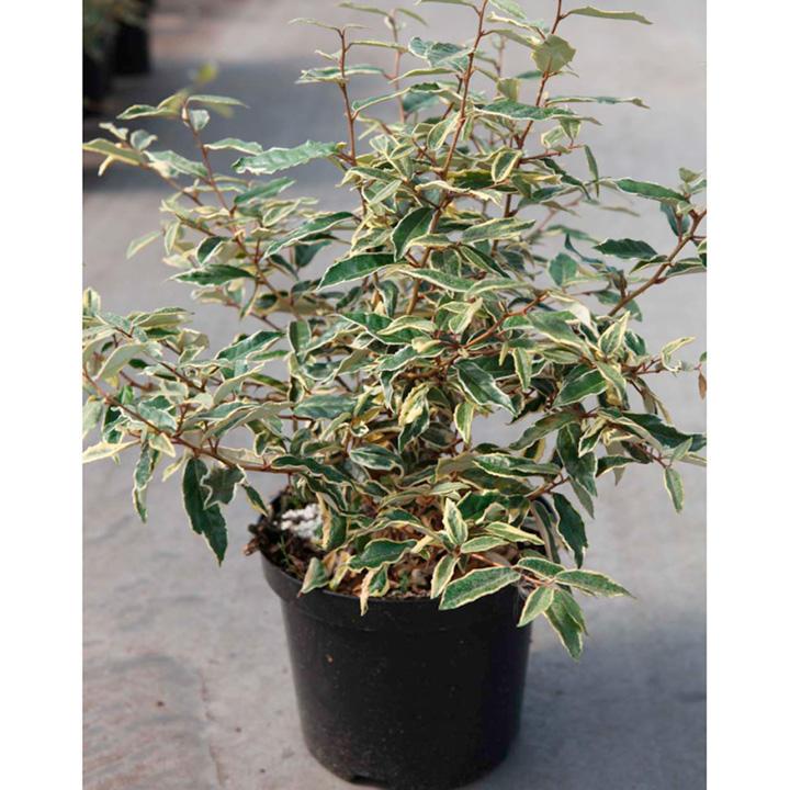 Elaeagnus pungens Plant - Hosuba-fukurin