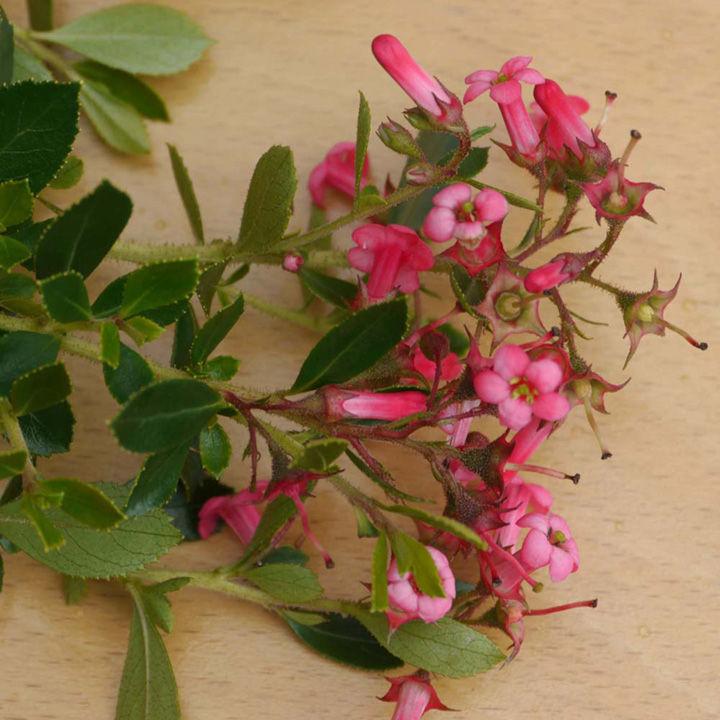 Escallonia rubra macrantha Plant