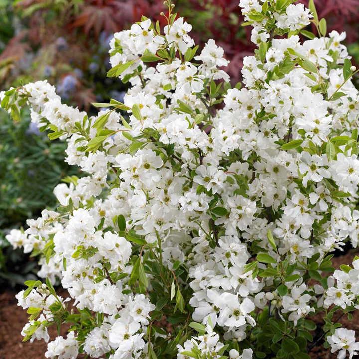 Exochorda r. Plant - Niagra Noble