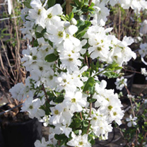 Exochorda Plant - The Bride