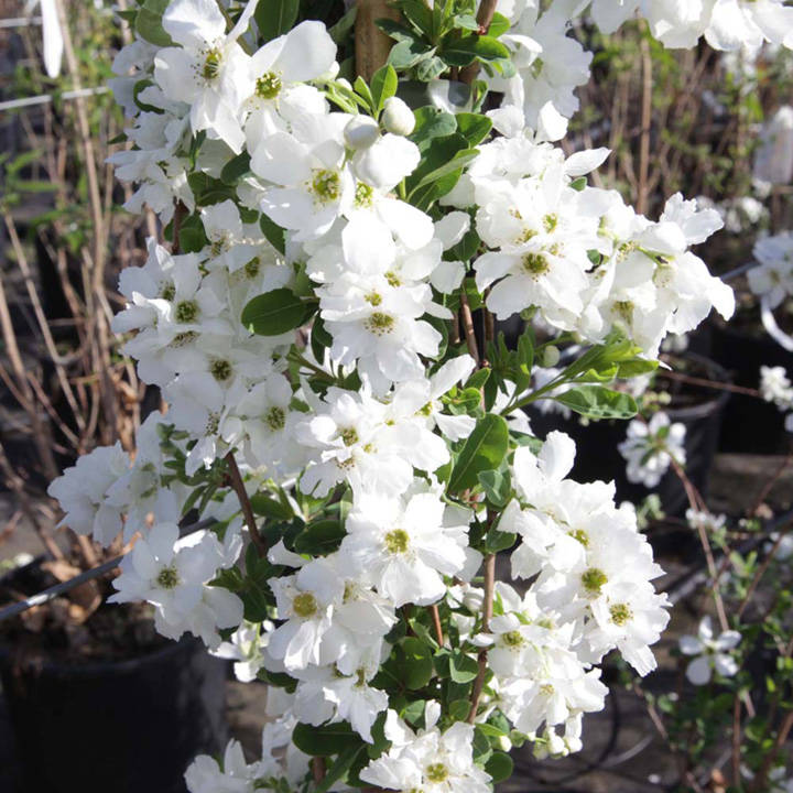 exochorda plant the bride trees and shrubs flowers. Black Bedroom Furniture Sets. Home Design Ideas
