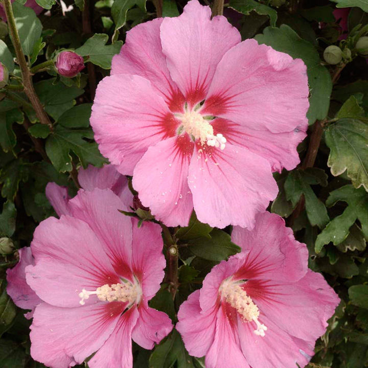 Hibiscus Syr Pink Giant Trees And Shrubs Flowers Garden Dobies