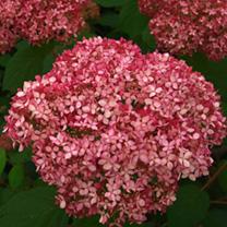 Hydrangea arborescens Plant - Pink Annabelle