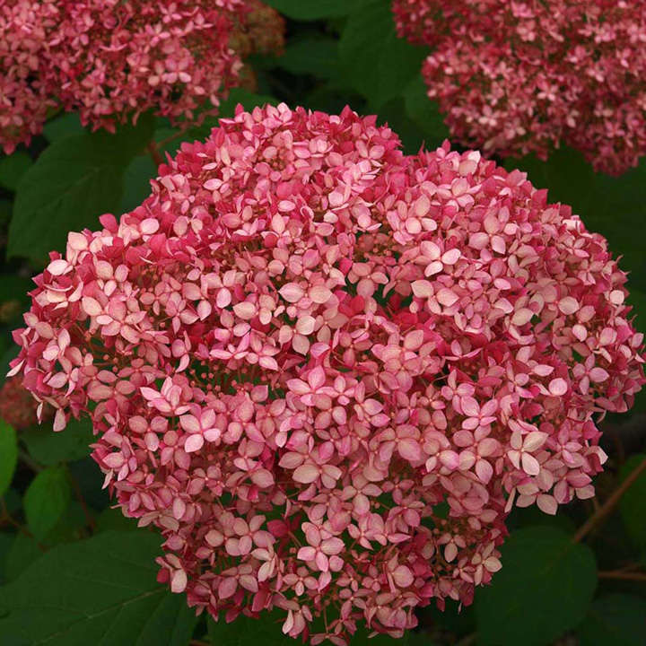 hydrangea arborescens plant pink annabelle trees and shrubs flowers garden dobies. Black Bedroom Furniture Sets. Home Design Ideas