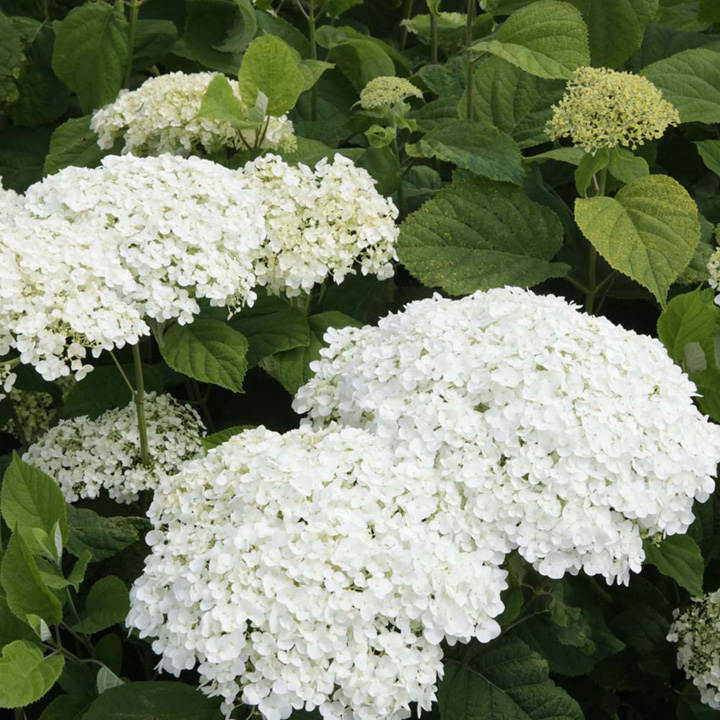 hydrangea arborescens plant strong annabelle trees and shrubs flowers garden dobies. Black Bedroom Furniture Sets. Home Design Ideas