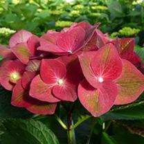 Hydrangea m. Plant - AB Green Shadow