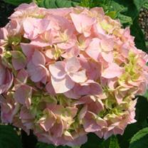 Hydrangea macrophylla Plant - Bouquet Rose