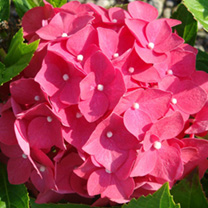 Hydrangea macrophylla 'Leuchtfeuer is a small, hardy, deciduous, easy to grow shrub with glossy, mid-green, ovate foliage. In summer it bears clusters