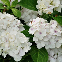Hydrangea macrophylla 'Mme Emile Moulliere is a deciduous shrub with dark green oval leaves and large round mophead-style white flowerheads in mid and