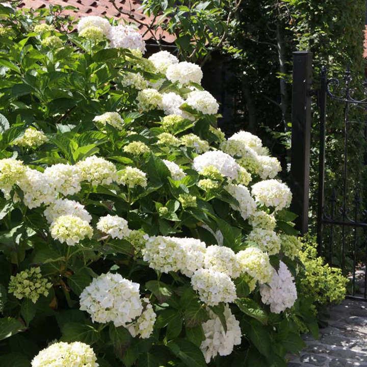 Hydrangea macrophylla Plant - 'Soeur Thérèse'