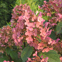 Hydrangea paniculata Plant - Early Sensation