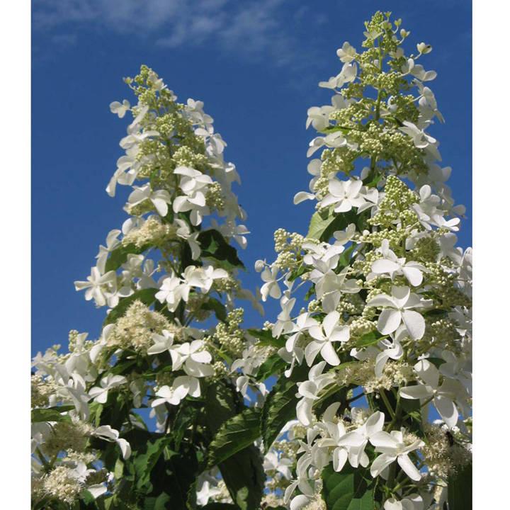 Hydrangea paniculata Plant - Levana Noble