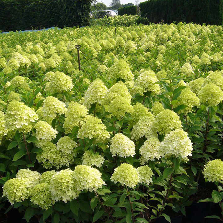 hydrangea paniculata plant limelight trees and shrubs flowers garden dobies. Black Bedroom Furniture Sets. Home Design Ideas