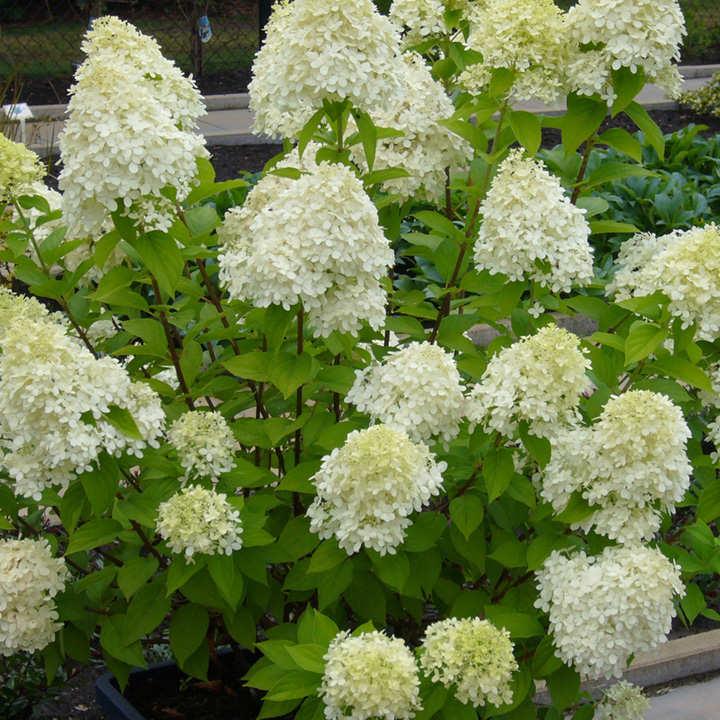 hydrangea paniculata plant limelight trees and shrubs flowers garden dobies. Black Bedroom Furniture Sets. Home Design Ideas
