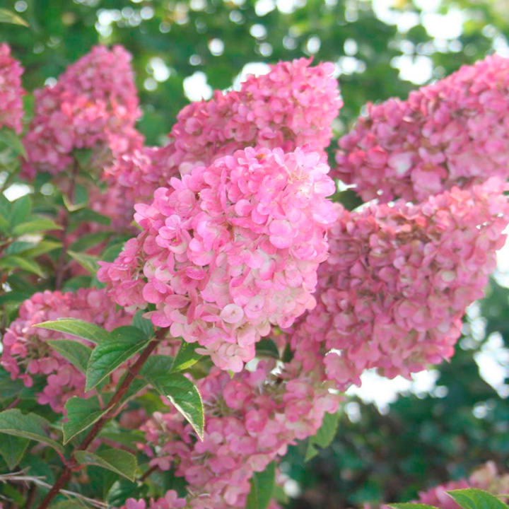 Hydrangea paniculata Plant - Sundae Fraise
