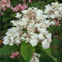 Hydrangea paniculata Plant - White Diamonds First Editions