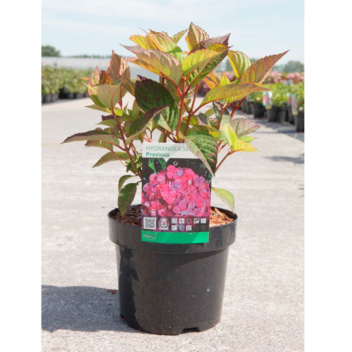 Hydrangea serrata Plant - _Preziosa