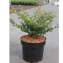 Ilex crenata Plant - Stokes