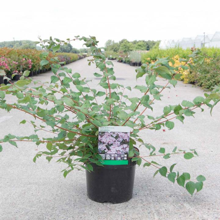 Kolkwitzia amabilis Plant