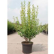 Ligusgtrum ovalifolium Plant