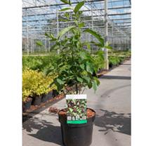 Lindera benzoin Plant