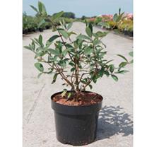 Lonicera caerulea kamtschatica Plant