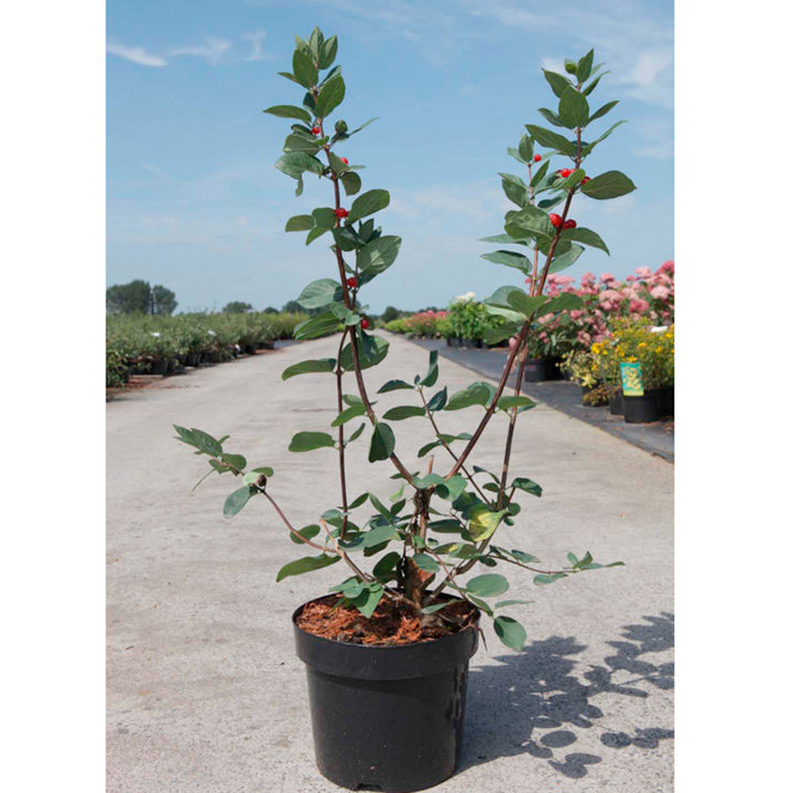 Lonicera tatarica Plant - Arnold Red
