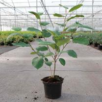 Magnolia sieboldii Plant