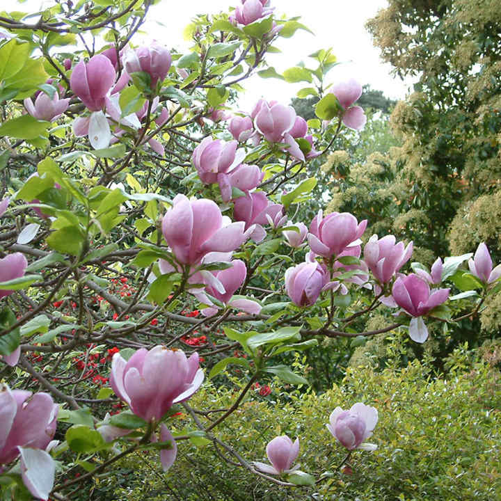 Magnolia Soulangeana Plant Trees And Shrubs Flowers Garden