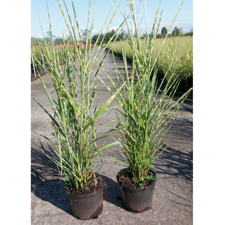 miscanthus sinensis plant strictus zebrinus trees and shrubs flowers garden dobies. Black Bedroom Furniture Sets. Home Design Ideas