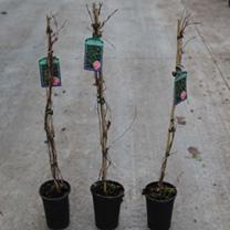 Parthenocissus quinquefolia Plant - Troki  Redwall