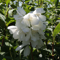 Philadelphus Plant - Innocence Noble