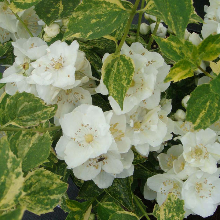 Philadelphus Plant - Lemoinei