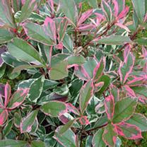 Photinia fraseri Plant - Pink Marble