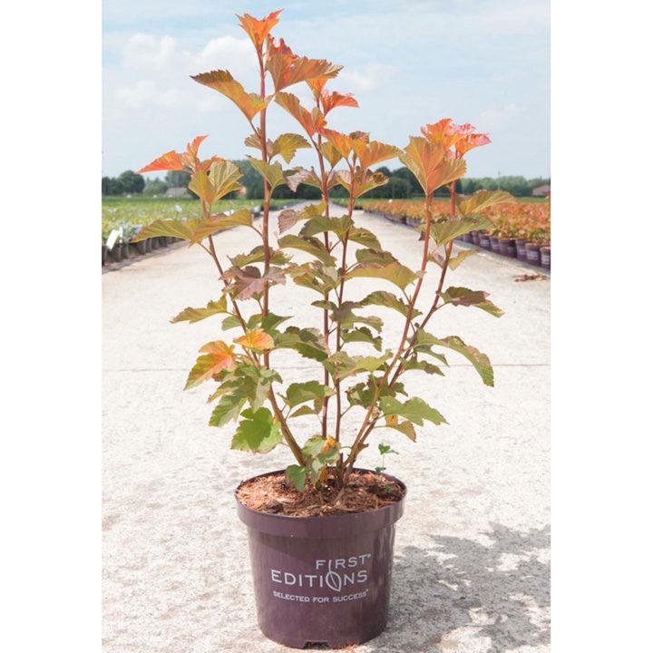 Physocarpus opul. Plant - Amber Jubilee