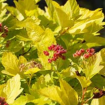 Physocarpus opulifolius Plant - Angel Gold