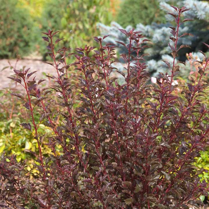 Physocarpus opulifolius Plant - Summer Wine®