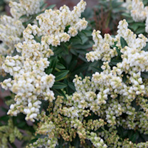 Pieris jap. Plant - Debutante