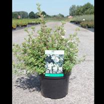 Potentilla Plant - Abbotswood