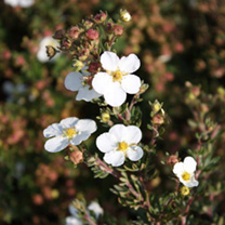 Potentilla fruticosa Plant - White Lady