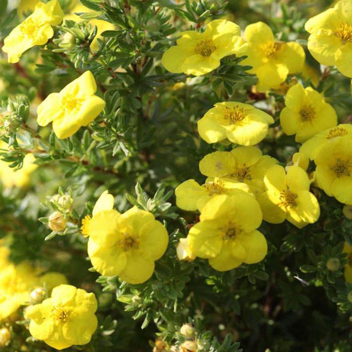 Potentilla fruticosa Plant - Kobold