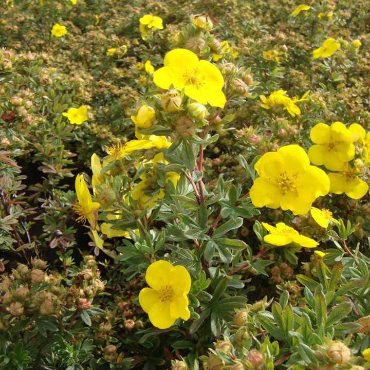 Potentilla fruticsa Plant - Goldfinger