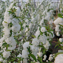 Prunus glandulosa Plant - Alba Plena