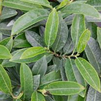 Prunus laurocerasus Plant - Mount Vernon