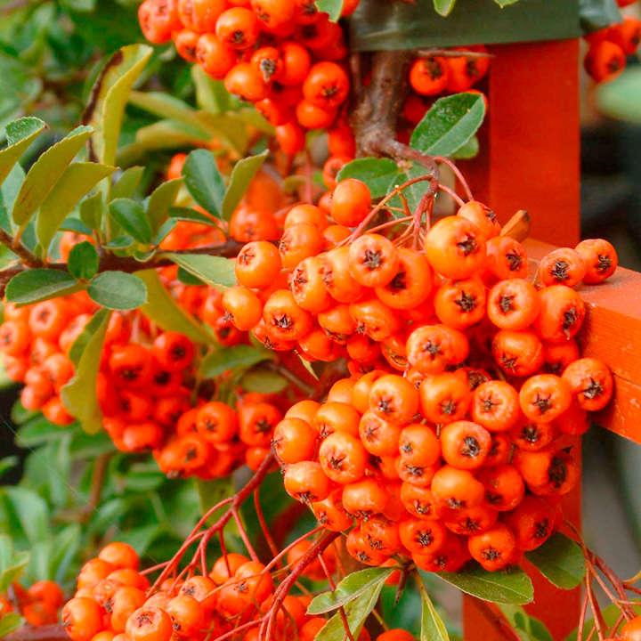 Pyracantha Plant - Orange Glow