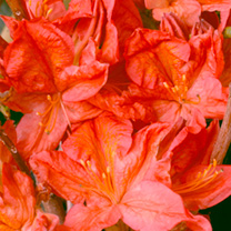 Rhododendron (AM) Plant - Kosters Brilliant Red