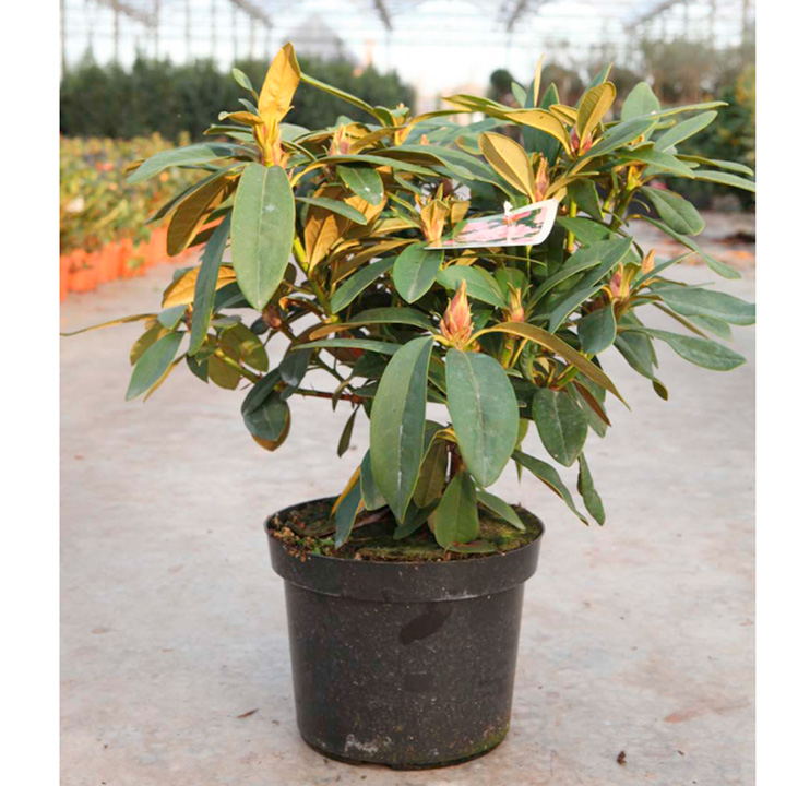 Rhododendron (C) Plant - Christmas Cheer